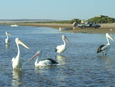 scenic oz wildlife pelican shot